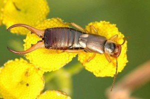 Earwig - General Pests, Wayfare Pest Solutions
