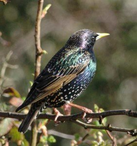 Euro Starling - Bird Removal, Wayfare Pest Solutions