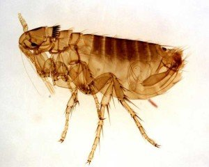 Fleas - Blood Feeding Pests, Wayfare Pest Solutions