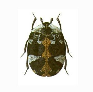 Carpet Beetle - General Pests, Wayfare Pest Solutions