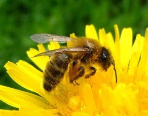 Honey Bee - Wayfare Pest Solutions, Flying Pests