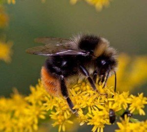 Bumble Bee - Wayfare Pest Solutions, Flying Pests