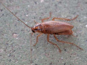 German Cockroach - General Pests, Wayfare Pest Solutions