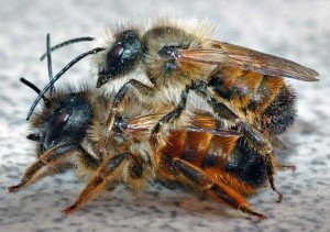 Mason Bee - Wayfare Pest Solutions, Mason Bee