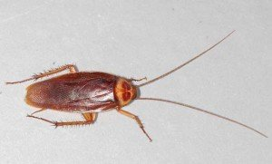 American Cockroach - General Pests, Wayfare Pest Solutions