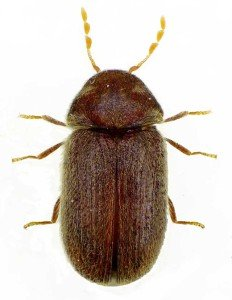 Drugstore Beetle - General Pests, Wayfare Pest Solutions