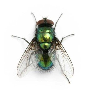 Filth Fly - Wayfare Pest Solutions, Flying Pests