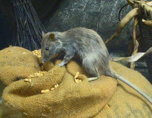 Roof Rat - Rodent Removal, Wayfare Pest Solutions