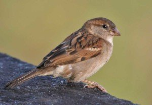Sparrow - Bird Removal, Wayfare Pest Solutions