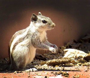 Squirrel - Nuisance Wildlife Removal, Wayfare Pest Solutions