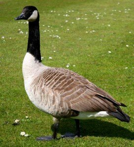 Canadian Geese - Bird Removal, Wayfare Pest Solutions