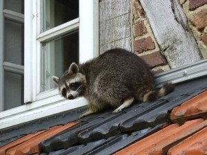 Racoon - Nuisance Wildlife Removal, Wayfare Pest Solutions