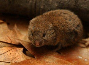 Voles - Rodent Removal, Wayfare Pest Solutions