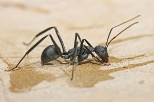 Carpenter Ant - Wayfare Pest Solutions, Structural Pests