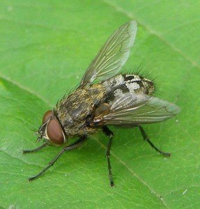 Cluster Fly - Wayfare Pest Solutions, Flying Pests