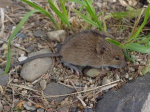 Meadow Mice - Rodent Removal, Wayfare Pest Solutions