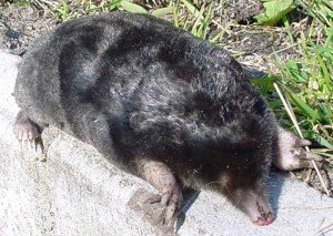 Mole - Nuisance Wildlife Removal, Wayfare Pest Solutions
