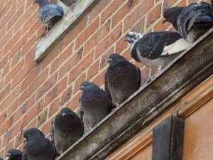 Pigeons - Bird Removal, Wayfare Pest Solutions