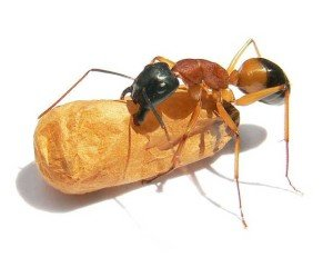 Sugar Ant - General Pests, Wayfare Pest Solutions