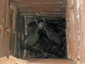 Chimney Swifts - Bird Removal, Wayfare Pest Solutions