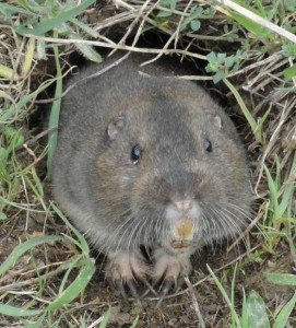 Gopher - Nuisance Wildlife Removal, Wayfare Pest Solutions