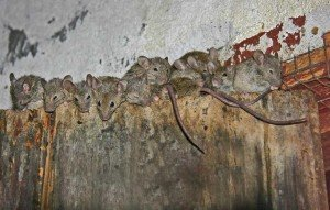 House Mice - Rodent Removal, Wayfare Pest Solutions