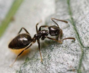 A common black sugar ant on pavement.
