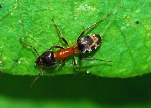 Velvety Tree Ants - Wayfare Pest Solutions, Structural Pests