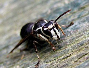 Bald Faced Hornet - Wayfare Pest Solutions, Flying Pests
