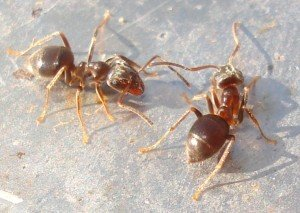 Moisture Ants - Wayfare Pest Solutions, Structural Pests