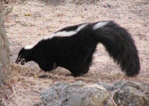 Skunk - Nuisance Wildlife Removal, Wayfare Pest Solutions