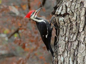 Woodpecker - Bird Removal, Wayfare Pest Solutions