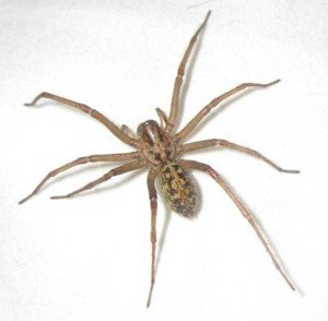 Hobo Spider - General Pests, Wayfare Pest Solutions