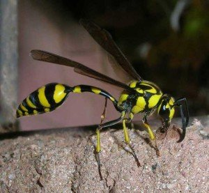 Mud Dauber - Wayfare Pest Solutions, Flying Pests