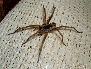 Wolf Spider - General Pests, Wayfare Pest Solutions