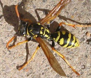 Yellow Jacket - Wayfare Pest Solutions, Flying Pests