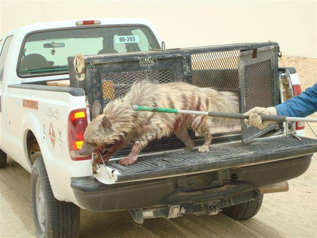 Striped Hyena in Al Asad - A Great Day On The Job