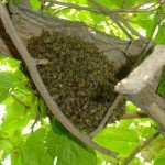 Honey Bee Hive - Honey Bee Relocation Service, Wayfare Pest Solutions